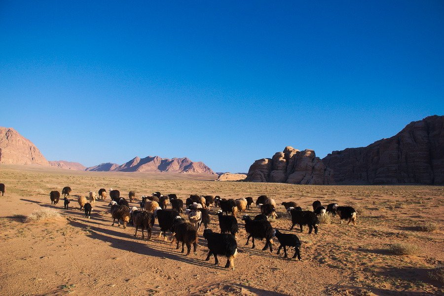 wadi rum sheep